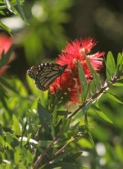 bottlebrush,monarch