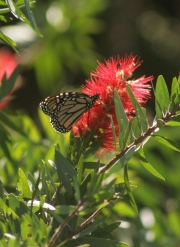bottlebrush,monarch