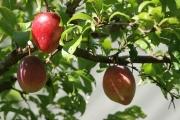 louisa plums